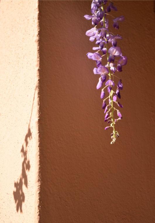 Purple glicine
